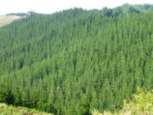 Pine_Plantation_NZ_1-467x350